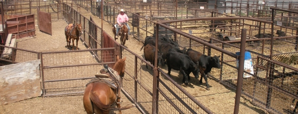 Welcome to Producers Livestock Auction :: Producers
